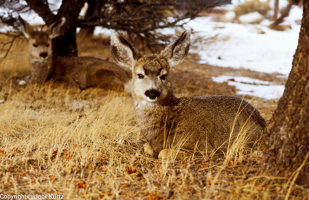 24 DECEMBER 2001, GRAND CANYON NATIONAL PARK, ARIZONA: Mule deer yearlings near the south rim of the Grand Canyon in Grand Canyon National Park, Dec. 24, 2001. .PHOTO BY JACK KURTZ