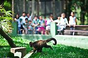 Belo Horizonte_MG, Brasil...Imagens do  Zoologico, Fundacao Zoo Botanica de Belo Horizonte, Criada em 1991, a Fundacao abriga o Jardim Zoologico e o Jardim Botanico da cidade de Belo Horizonte, Minas Gerais. Na foto um mico...Belo Horizonte Zoobotanic Foundation, Built in 1991, the Foundation hosts the Zoo and Botanical Garden in the city of Belo Horizonte, Minas Gerais. In this photo a monkey...Foto: JOAO MARCOS ROSA / NITRO