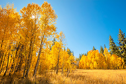 """Aspen at Fredrick's Meadow 7"" - Photograph of yellow aspen in the fall at Fredrick's Meadow, near Lake Tahoe and Fallen Leaf Lake."