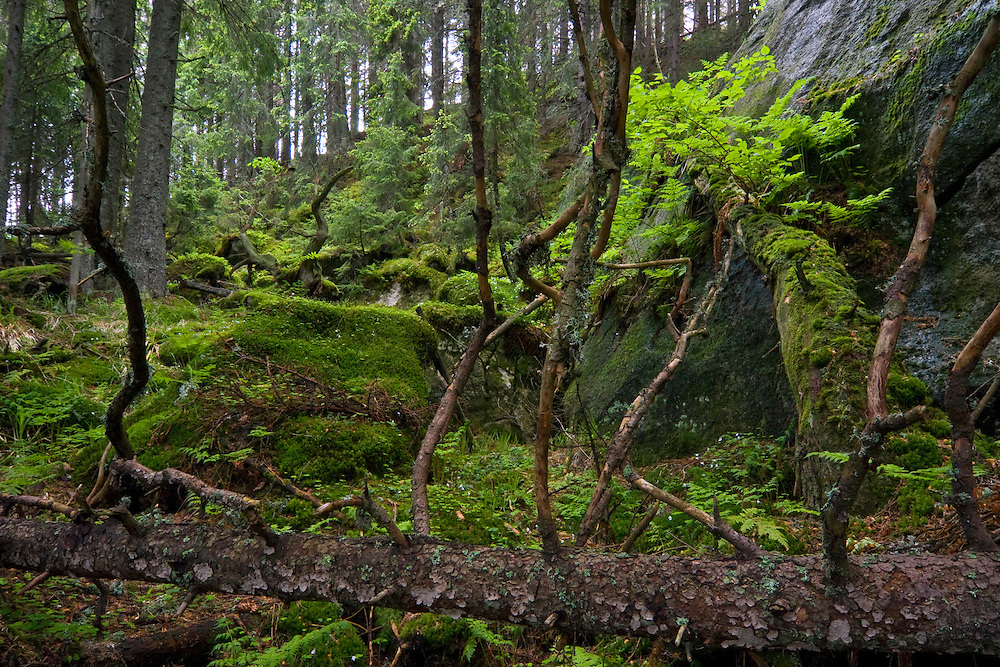 Fallen trees and mosses in the undergrowth of a pristine forest in the Kouprova valley. Western Tatras, Slovakia. June 2009. Mission: Ticha