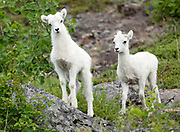 Dall Sheep (Orvis dalli) lambs in summer in the mountains along Turnagain Arm, Chugach State Park.