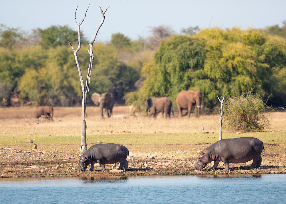 Afternoon at Lake Kariba, Zimabawe.  Hippos and elephants graze in this remote landscape.