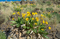 Common in most of the western United States and Canada, the arrowleaf balsamroot is a member of the sunflower and aster family (hence the sunflower resemblance) and has a historical significance to the various tribes and peoples of the American West as a source of food and medicine. The large root can be baked or steamed as a good source of carbohydrates. The stems can be peeled and eaten, and even the seeds are a great source for both nutrients and calorie-rich oils. These beautiful examples this springtime beauty were photographed on a beautiful spring day just outside of Yakima, Washington.