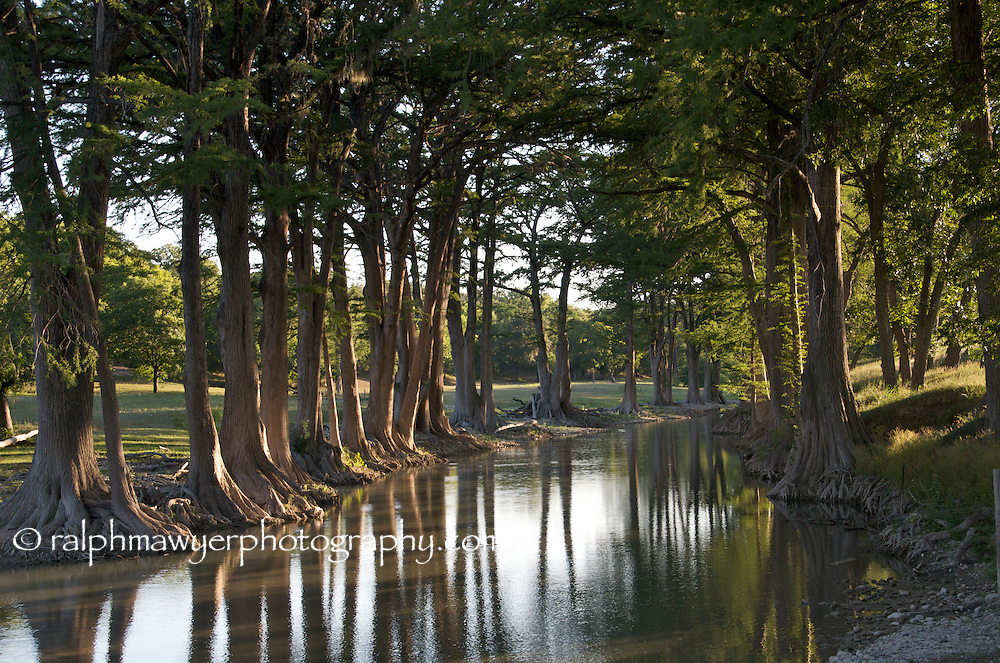 Bald Cypress on Guadalupe River at Waring, Texas, west of San Antonio, USA.