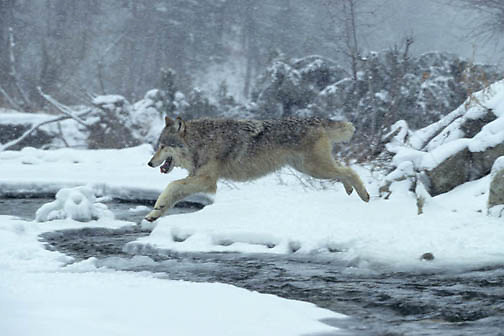 Gray Wolf, (Canis lupus) Running and jumping across unfrozen part of river. Rocky mountains. Montana. Winter. Captive Animal.