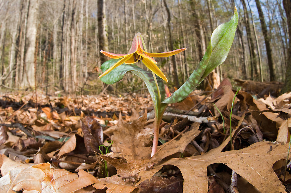 Trout Lilies (Erythronium americanum) are one of the first flowers to carpet the forest floor. Their common name is derived from their dappled leaves, which are reminiscent of trout scales.