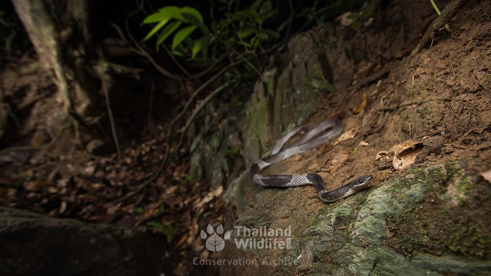 White-banded Wolf Snake (Lycodon subcinctus) in Kaeng Krachan district, Phetchaburi, Thailand