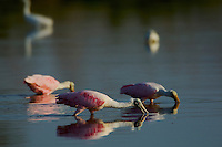 Roseate Spoonbills (Ajaia ajaja) foraging with Snowy Egrets..Everglades National Park, Eco Pond.