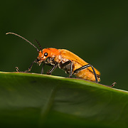 Soldier beetles (Cantharidae) are relatively soft-bodied, straight-sided beetles, related to the Lampyridae or firefly family, but unable to produce light.