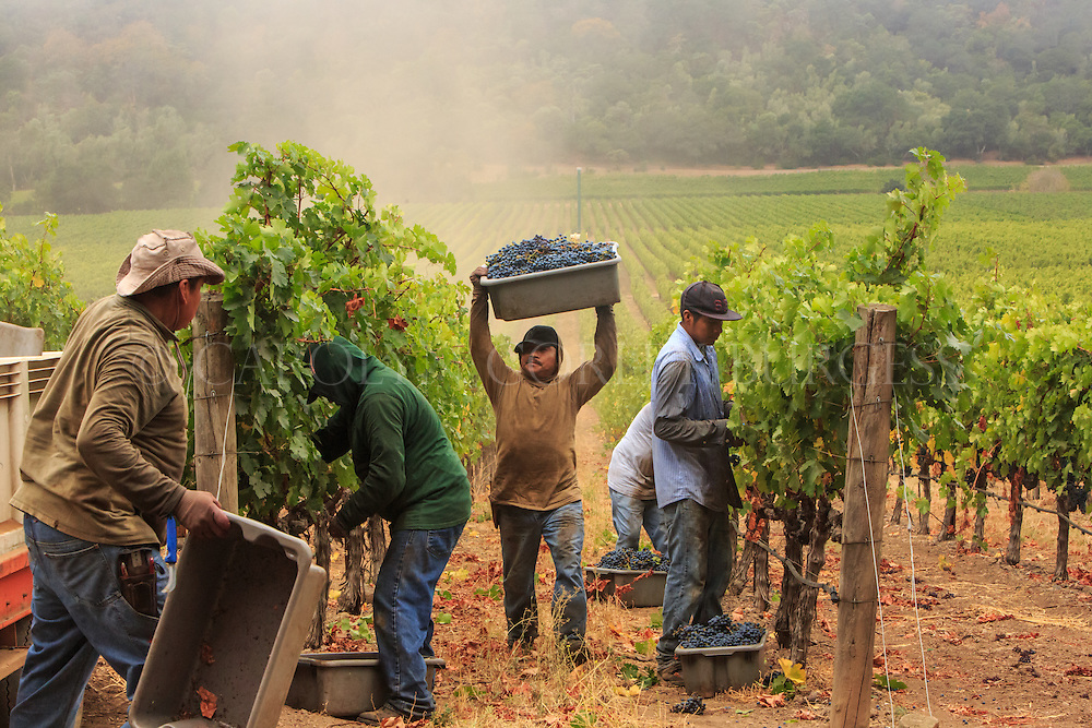 Treasury Wine Estates, Napa Valley, Stags Leap District, Stags' Leap Winery, vineyards, harvest, wine grape harvest, vineyard workers, wine industry photography