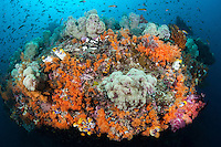 A current swept reef wall, covered in Soft Corals, attracts throngs of feeding reef fish.<br /> <br /> Shot in Indonesia