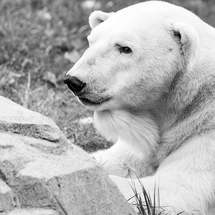 Soul Survival: Polar Bear (Scientific Name: Ursus maritimus)<br />