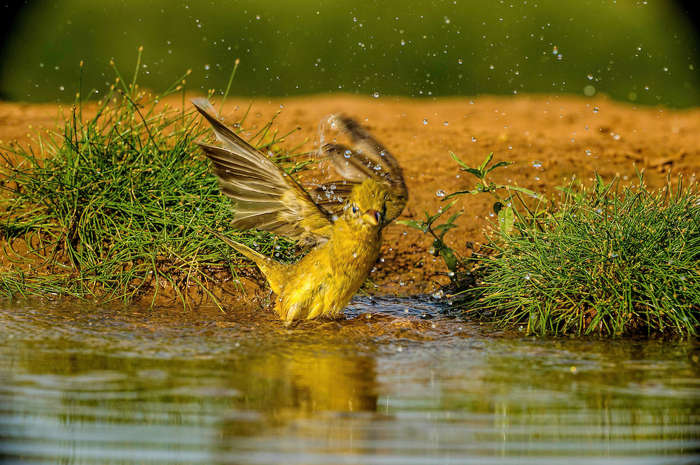 Summer Tanager bathing