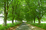Avenue of beech trees, Asthall, the Cotswolds, Oxfordshire, UK