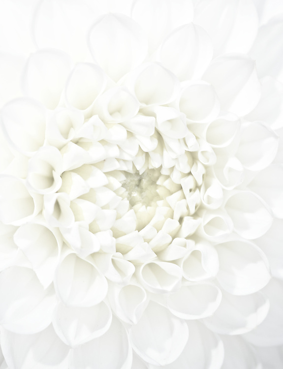 The White Dahlia<br />