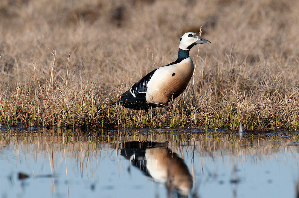 Steller's eider on edge of tundra pond near Barrow AK