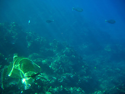 Pacific Green Sea Turtle (Chelonia mydas) and Tropical Fish in Maui Channel, Maui, Hawaii, US