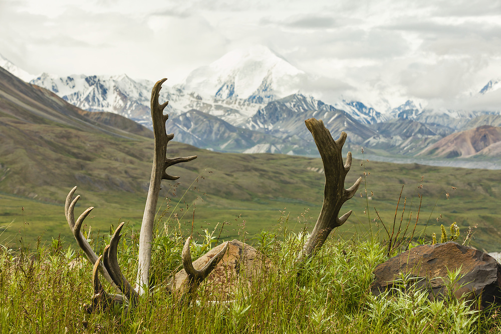 Mt. Brooks framed by caribou antlers (Rangifer tarandus) in Denali National Park in Southcentral Alaska. Summer. Morning.
