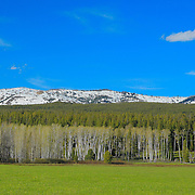 Meadow Aspen Grove - East Jackson Lake, WY