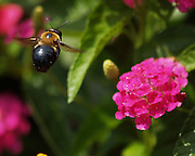 A bumble bee flies towards a flower.