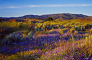 Springtime Wildflowers in the Boise foothills below Boise front.