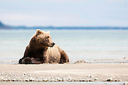 USA, Katmai National Park (AK).Brown bear (Ursus arctos) lying on a beach