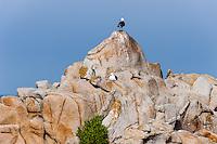 United States, California, Monterey. Asilomar State Beach with it's rocky coast on the Monterey Peninsula. Heermann's Gull.