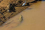 American crocodile chasing a great egret