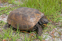 A common, yet threatened keystone species of the pineland scrubs of Florida, the gopher tortoise is extremely important to so many of the species it lives with, tremendous conservation efforts are being put into place to save this vulnerable animal and its habitat. This long-lived and only native North American tortoise is found throughout much of the coastal Southeast, and the most important thing it does for its home is dig. Gopher tortoises dig enormous burrows that can be up to 50 feet long and nearly 10 feet deep, and not only just one burrow. Over the area of several acres, it can build many burrows to suit its needs over a lifetime. These tunnels keep it safe from predators, cool in summer, warm in winter, and more importantly - become homes and shelters for other species who have evolved to take advantage of this master burrower's talents. Biologists have named at least 360 species that rely on these burrows for their own livelihood, such as foxes, skunks, rattlesnakes, etc.... This one was photographed near the Estero River in Estero, Florida.