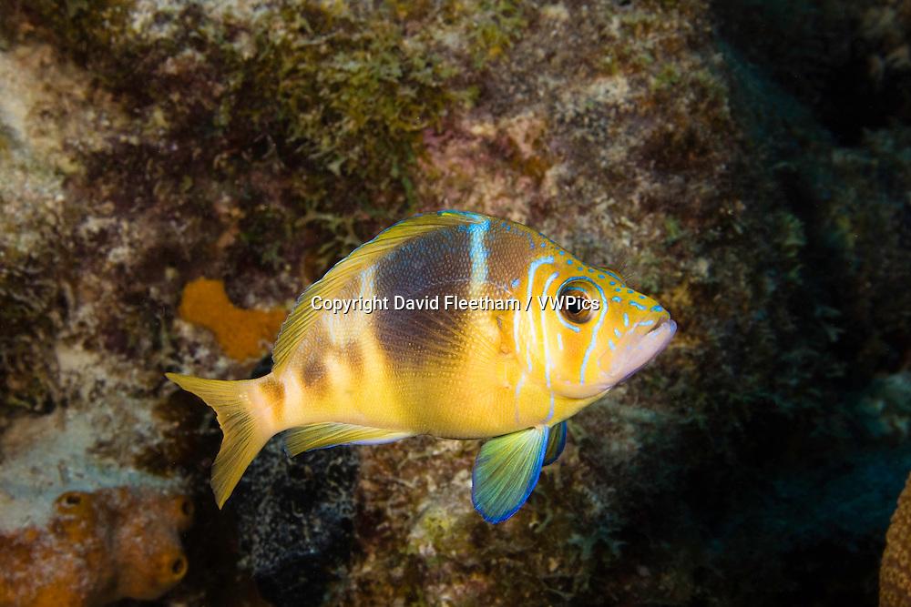 Barred hamlet, Hyploplectrus puella, Bonaire, Netherlands Antilles, Caribbean.