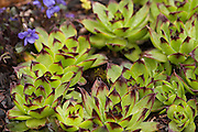 Sempervivum tectorum (Common Houseleek.  Also known as Hen and chicks.  Used as an ornamental plant, they are hardy and do well in rock gardens and ecoroofs.