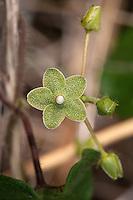 Green Milkweed Vine, Matelea reticulata, Gillespie County, TX.