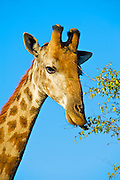 The giraffe (Giraffa camelopardalis) is an African even-toed ungulate mammal, the tallest living terrestrial animal and the largest ruminant. Its species name refers to its camel-like appearance and the patches of color on its fur.