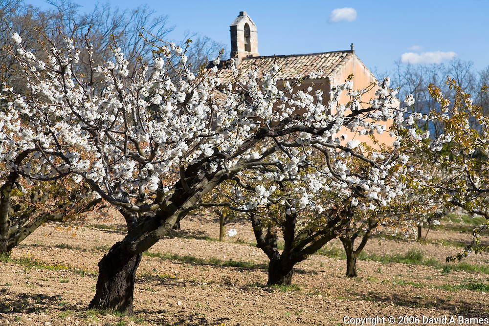 Country chapel and fruit blossoms, Luberon, Vaucluse, Provence, France