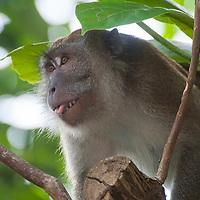 Long-Tailed Macaque, Macaca fascicularis, Tanjong Jara Resort, Terengganu, Malaysia.