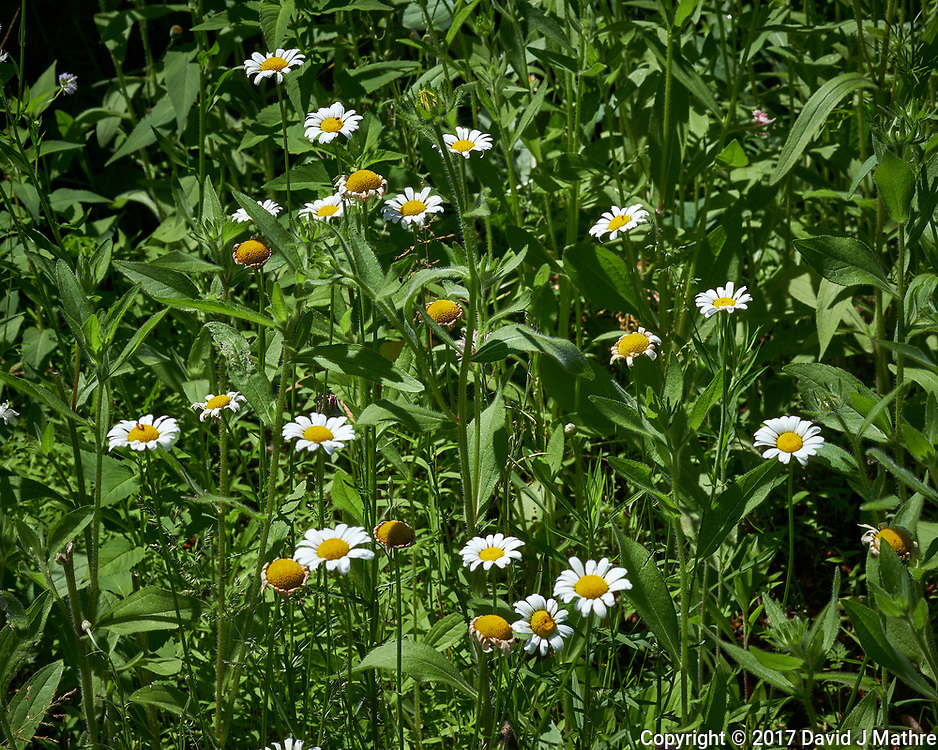 Field of Daisy flowers. Backyard spring nature in New Jersey. Image taken with a Fuji X-T2 camera and 60 mm f/2.4 macro lens (ISO 200, 60 mm, f/11, 1/340 sec).