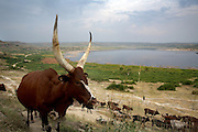 Acholi cattle are herded home for the evening after grazing around Lake Katwe