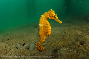 A female Long Snout Seahorse, Hippocampus reidi, swims underneath a boat dock near the Blue Heron Bridge in Singer Island, Florida, United States