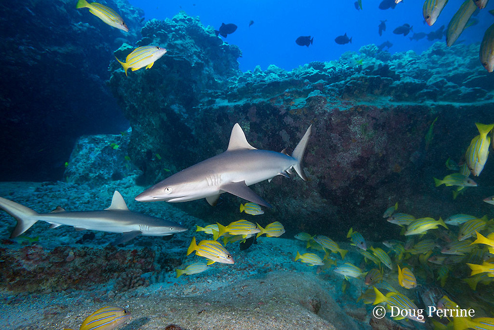 juvenile gray reef sharks, Carcharhinus amblyrhynchos, and bluestripe snapper or taape, Lutjanus kasmira, Mahaiula, North Kona, Hawaii (the Big Island),  United States ( Central North Pacific Ocean )