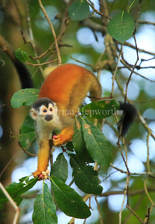 Squirrel Monkey (Saimiri oerstedii) feeding on fruit in rainforest, Corcovado National Park, Osa, Costa Rica. <br />