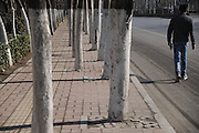 JINAN, CHINA - FEBRUARY 17: (CHINA OUT) <br /> <br /> Pavement Planted With Trees <br /> <br /> Citizens walk on pavement where lots of trees spread near the north road of Jinan University on February 17, 2016 in Jinan, Shandong Province of China. The 300-meter-long pavement are planted with dozens of trees and specific reason is unknown.<br /> ©Exclusivepix Media