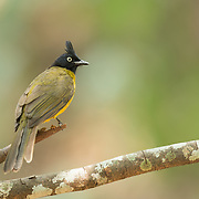 The black-crested bulbul (Pycnonotus flaviventris) is a member of the bulbul family of passerine birds. It is found from the Indian subcontinent to southeast Asia.