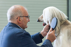 © Licensed to London News Pictures. 16/08/2019. Llanelwedd, Powys, UK. Afghan Hound judging takes place on the first day of The Welsh Kennel Club Dog Show, held at the Royal Welsh Showground, Llanelwedd in Powys, Wales, UK. Photo credit: Graham M. Lawrence/LNP