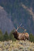 American elk or wapiti scratching back with antlers