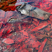 Red algae colors a pond in Chilkat State Park, Haines, Alaska, USA.