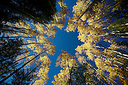 SHOT 9/25/2007 - Photos looking skyward of aspen trees turning yellow as the fall foliage season comes to a peak in Colorado. The aspen trees were located in the Arapaho National Forest along Highway 103, also known as the Mount Evans Highway, near Idaho Springs, Co. Populus tremuloides, the Quaking Aspen or Trembling Aspen, is a deciduous tree native to cooler areas of North America and is generally found at 5,000-12,000 feet. The name references the quaking or trembling of the leaves that occurs in even a slight breeze due to the flattened petioles. It propagates itself by both seed and root sprouts, and extensive clonal colonies are common. Each colony is its own clone, and all trees in the clone have identical characteristics and share a root structure..(Photo by Marc Piscotty/ © 2007)