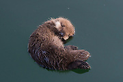 Sea Otter<br /> Enhydra lutris<br /> Newborn pup (just three-days-old) floating <br /> Monterey, California