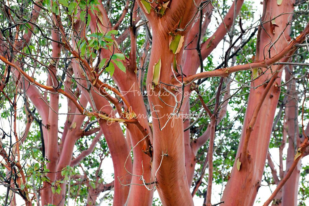 Arbutus menziesii (madrone) orange bark<br /> <br /> Fort Worden, Port Townsend, Washington, USA