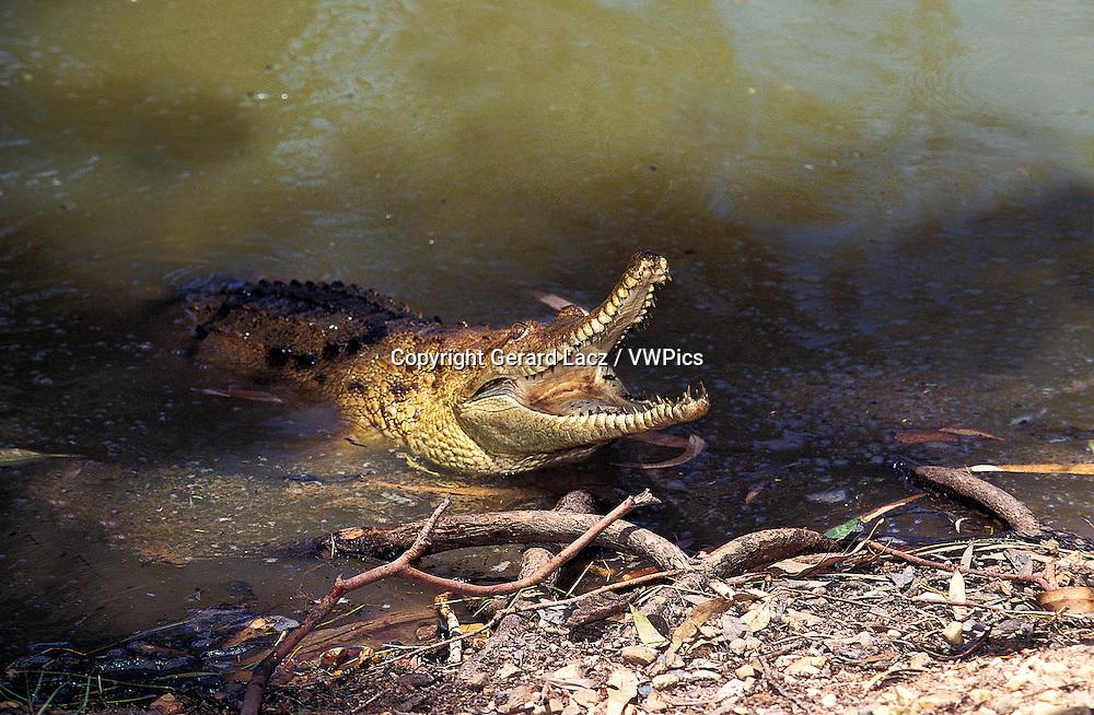 Australian Freshwater Crocodile, crocodylus johnstoni, Adult with Open Mouth, Defensive Posture, Australia