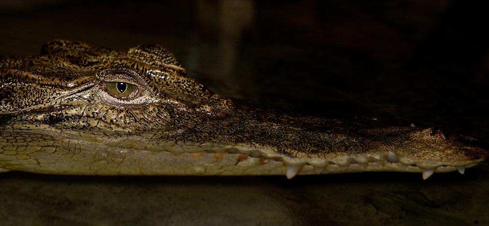 Saltwater crocodile, Crocodylus porosus, in Central Sulawesi